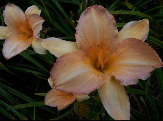 Dowager Queen daylily